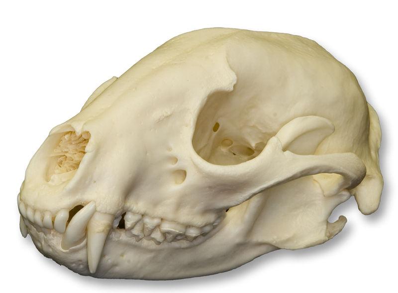 Raccoonskull