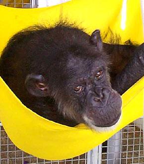 27_danachimpanzee-yellow-hammock