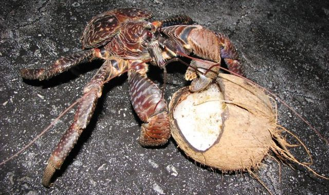 Giant_coconut_crab_16