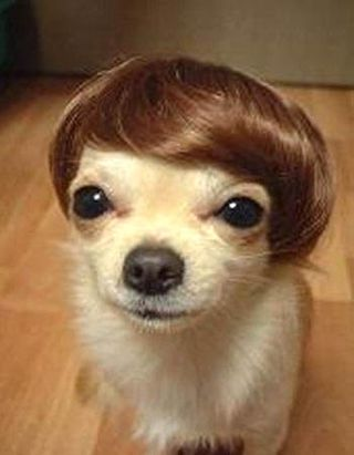 Chihuahua_and_wig