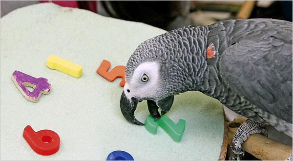 Alex_gray_parrot