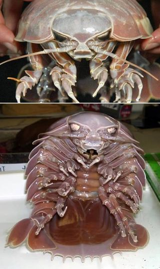 Giant_Isopod
