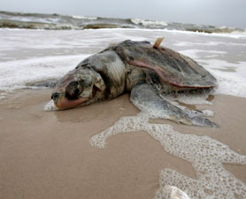 Oil_injured_sea_turtle