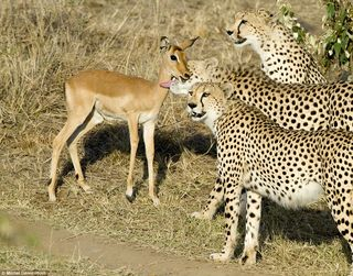 Cheetahs_playing_with_impala