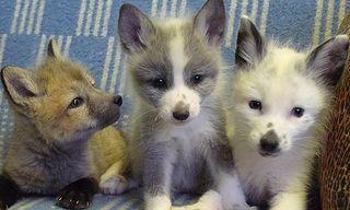 Sib_fox_pups