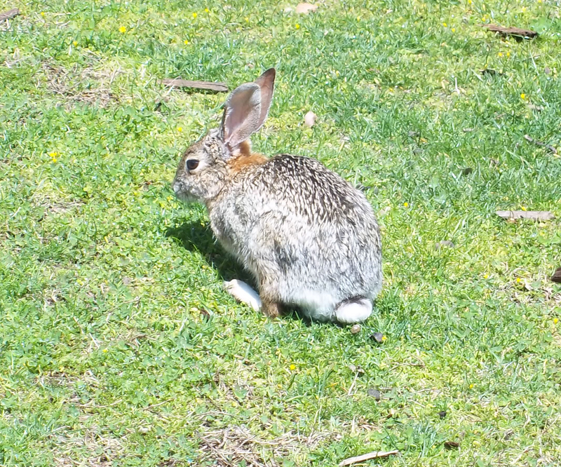 Bunny_rabbit