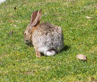 Hiding_bunny_rabbit