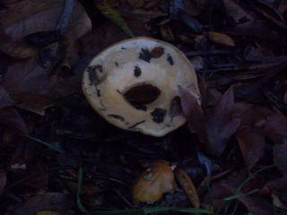 Large_rain_mushroom